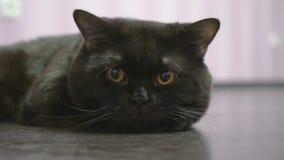 Brittisk svart katt med lögner på golvet och posera för kameran stock video