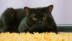 Brittisk svart katt som poserar till kameran stock video