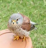 Brittisk tornfalkfågel av rovet Arkivfoto