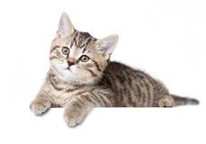 Brittisk ung katt eller kattunge isolerat ligga Fotografering för Bildbyråer