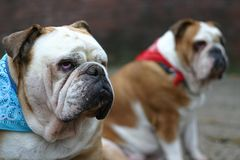 brittiska bulldoggar Royaltyfri Bild