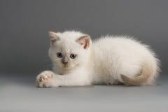 brittiska kattungar royaltyfria bilder