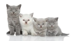 Brittiska kattungar på vit bakgrund Royaltyfria Bilder