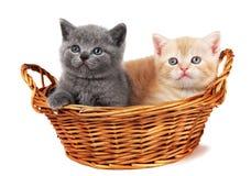 brittiska kattungar två för korg Arkivfoto