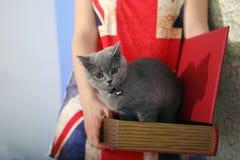 Brittiska Shorthair behandla som ett barn Royaltyfri Fotografi