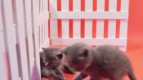 Brittiska Shorthair behandla som ett barn att spela som isoleras lager videofilmer