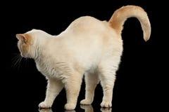 Brittiska Shorthair Cat Standing och lyfter upp på svart bakgrund Royaltyfri Fotografi