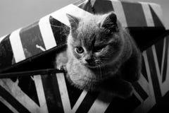 Brittiska Shorthair i en ask Royaltyfri Bild