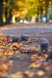 Brittiska Shorthair kattungar bland höstsidor Royaltyfria Bilder