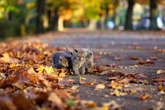 Brittiska Shorthair kattungar bland höstsidor Royaltyfri Foto