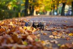 Brittiska Shorthair kattungar bland höstsidor Arkivbild