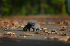 Brittiska Shorthair kattungar bland höstsidor Arkivfoto