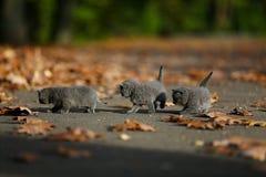 Brittiska Shorthair kattungar bland höstsidor Royaltyfri Bild