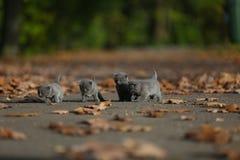 Brittiska Shorthair kattungar bland höstsidor Royaltyfria Foton