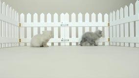 Brittiska Shorthair kattungar i en liten gård, vitt staket arkivfilmer