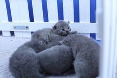 Brittiska Shorthair kattungar i en liten gård, vitt staket fotografering för bildbyråer