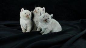 Brittiska Shorthair kattungar, isolerad stående på svart bakgrund arkivfilmer