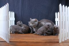 Brittiska Shorthair kattungar med moderkatten, vitt staket på bakgrund royaltyfria foton