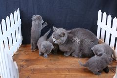 Brittiska Shorthair kattungar med moderkatten, vitt staket på bakgrund arkivfoton