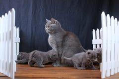 Brittiska Shorthair kattungar med moderkatten, vitt staket på bakgrund fotografering för bildbyråer