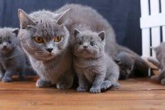 Brittiska Shorthair kattungar med moderkatten, vitt staket på bakgrund royaltyfria bilder