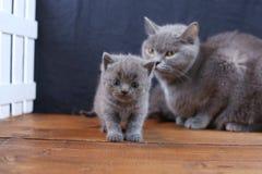 Brittiska Shorthair kattungar med moderkatten, vitt staket på bakgrund royaltyfri foto