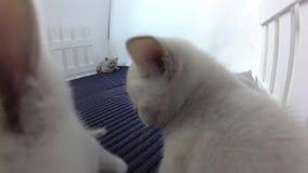 Brittiska Shorthair kattungar nära ett staket stock video