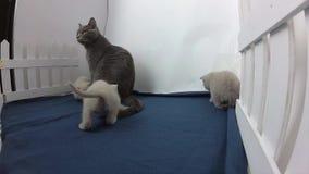Brittiska Shorthair kattungar nära ett staket arkivfilmer
