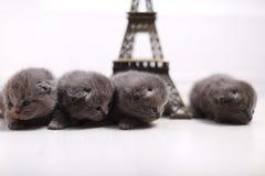Brittiska Shorthair kattungar och Eiffel turnerar Royaltyfri Foto