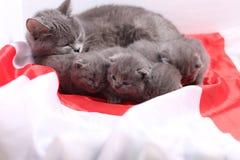 Brittiska Shorthair kattungar och England flagga Arkivbilder