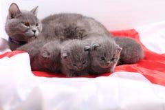 Brittiska Shorthair kattungar och England flagga Royaltyfria Foton