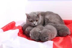 Brittiska Shorthair kattungar och England flagga Arkivbild