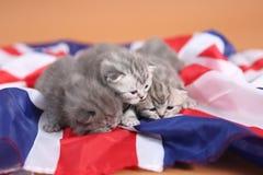 Brittiska Shorthair kattungar och UK-flagga Royaltyfri Foto