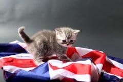 Brittiska Shorthair kattungar och UK-flagga Arkivfoton