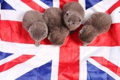 Brittiska Shorthair kattungar och UK-flagga Royaltyfria Foton