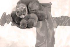 Brittiska Shorthair kattungar och UK-flagga Royaltyfri Fotografi