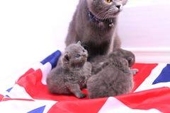 Brittiska Shorthair kattungar på en UK-flagga Royaltyfri Bild