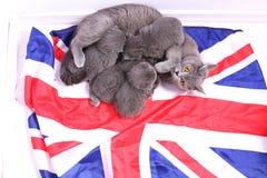 Brittiska Shorthair kattungar på en UK-flagga Arkivbild