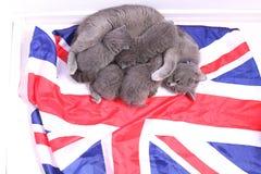 Brittiska Shorthair kattungar på en UK-flagga Royaltyfria Foton
