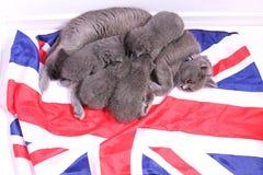 Brittiska Shorthair kattungar på en UK-flagga Arkivfoton