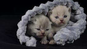 Brittiska Shorthair kattungar som döljer i en mjuk torkduk arkivfilmer