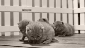 Brittiska Shorthair kattungar som inomhus flyttar sig och spelar i en liten gård, vitt staket arkivfilmer