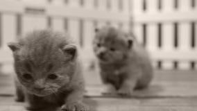 Brittiska Shorthair kattungar som inomhus flyttar sig och spelar i en liten gård, vitt staket stock video