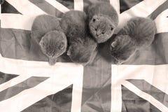 Brittiska Shorthair kattungar som kelar i UK, sjunker Royaltyfri Bild