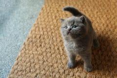 Brittiska Shorthair kattungar som sitter på dörrmattan Arkivfoton