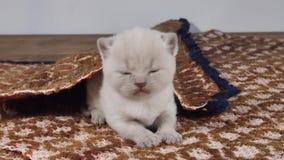 Brittiska Shorthair kattungar som sitter på en traditionell brun matta lager videofilmer