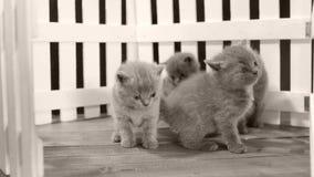 Brittiska Shorthair kattungar som spelar i en liten gård, vitt staket arkivfilmer