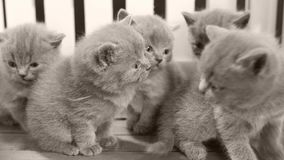 Brittiska Shorthair kattungar som spelar i en liten gård, vitt staket lager videofilmer