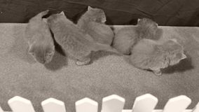 Brittiska Shorthair kattungar som spelar i en liten gård, vitt staket stock video