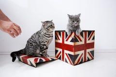 Brittiska shorthairkatter Royaltyfria Bilder